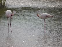 Two light pink flamings standing in the shallow water. they are facing each other. With small beaks on the head. You brush her plumage stock image