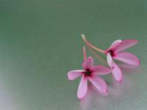 Two light pink flowers on a shining surface Royalty Free Stock Images