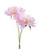 Two light pink peonies. Stock Image