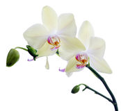 Two light yellow orchid flowers on white Stock Photo