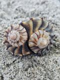Close-up view of two lightning whelk shells. Two lightning whelk shells in the sand on the beach stock image