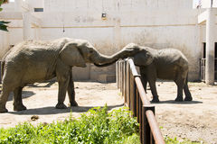 Two like. Asian Chinese, Beijing, zoo, two like playing royalty free stock photography