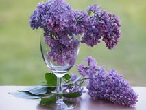 Two lilac branches in a wine  glass and one on the windowsill. stock photography