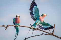 Two Lilac-breasted rollers in Chobe. Royalty Free Stock Images