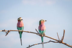 Two Lilac-breasted rollers sitting on a branch. Royalty Free Stock Images