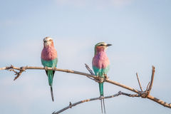 Two Lilac-breasted rollers sitting on a branch. Stock Photo