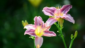 Two lilac daylily in garden stock video