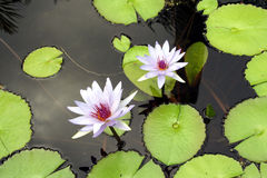Two Lilies. Two lilac colored water lilies sit above the pond with their reflections shining back at you stock photos