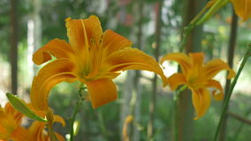 Two Lilies in Bloom. Changing focus along two orange lilies in bloom.  Lilies are a group of flowering plants which are important in culture and literature in stock video footage