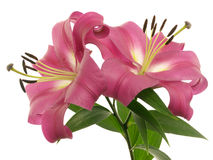 Two lilies on branch Stock Photo