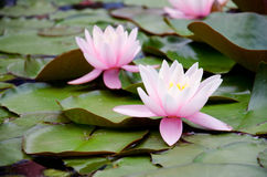Two lilies on the leaves in water. Two pink lilies on the green leaves in water Royalty Free Stock Image