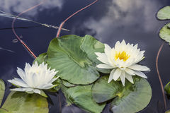 Two lilies or nymphs in a pond Stock Photo