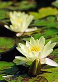 Two lilies on water surface Stock Photography
