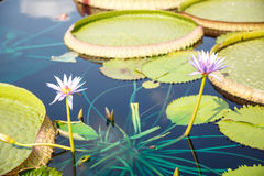Two Lillies and Lilly Pads Royalty Free Stock Image