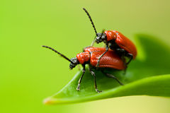 Two lily beetles on leaf Stock Image