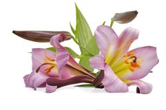 Two lily with bud Royalty Free Stock Image