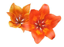 Two lily flower Royalty Free Stock Images