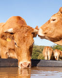 Two Limousin beef cows gossiping and sharing a secret at the wat Stock Image