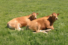 Two Limousin cows Royalty Free Stock Image