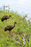 Two limpkin birds looking for food on the shore of Lake Igapo Stock Photos