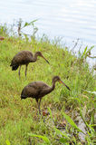 Two limpkin birds looking for food on the shore of Lake Igapo in Londrina city Stock Photography