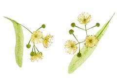 Two Linden tree flower with petals isolated on white background, close-up royalty free stock photos