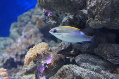 Two-lined monocle bream. Floating in water Royalty Free Stock Photography