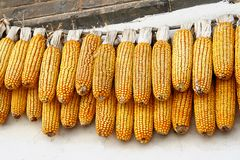 Two lines of corn cobs drying, China Stock Photo