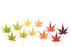 Two lines of maple leaves Royalty Free Stock Images