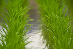 Two lines of rice plants Royalty Free Stock Images