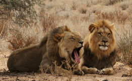 Two lion Brothers in the Kgaligadi 2 Royalty Free Stock Image