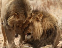 Two lion Brothers in the Kgaligadi 7 Stock Photo