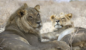 Two lion brothers Royalty Free Stock Photography