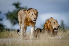 Two Lion brothers on the road. Stock Photography