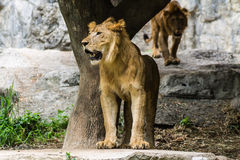 Two Lion in Chiangmai Zoo , Thailand Royalty Free Stock Images