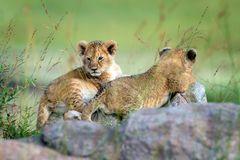 Two lion cub. African Lion cub, Panthera leo, National park of Kenya, Africa stock photography