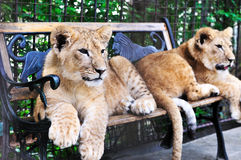 Two lion cubs Stock Image