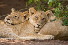 Two lion cubs. Resting on each others bodies in Botswana Stock Photos