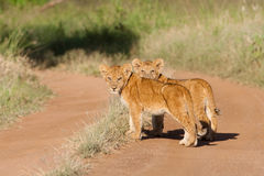 Two lion cubs. A pair of tiny lion cubs standing in the road Royalty Free Stock Images