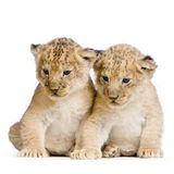 Two Lion Cubs Royalty Free Stock Photos