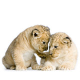 Two Lion Cubs. (3 weeks) in front of a white background. All my pictures are taken in a photo studio Royalty Free Stock Photo