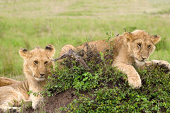 Two lion cubs in african savannah Royalty Free Stock Image