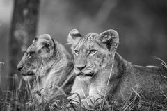 Two Lion cubs in black and white. Stock Photography