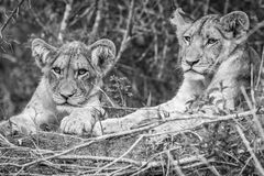 Two Lion cubs in black and white. Royalty Free Stock Photo