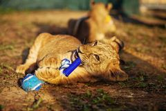 Two lion cubs cuddling in nature and plaing with toy Royalty Free Stock Photography