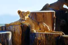 Two lion cubs cuddling in nature and wooden log Royalty Free Stock Images