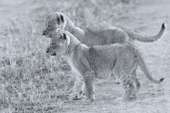Two lion cubs exploring to bush artistic convesion Royalty Free Stock Photo