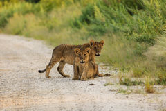 Two lion cubs interrupt their play to look photographer Stock Image