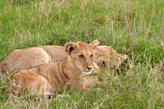 Two lion cubs lying in african savannah. Two lion cubs lying on the grass in african savannah, Masai Mara National Reserve, Kenya Royalty Free Stock Photography