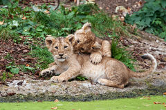 Two lion cubs playing Royalty Free Stock Photos